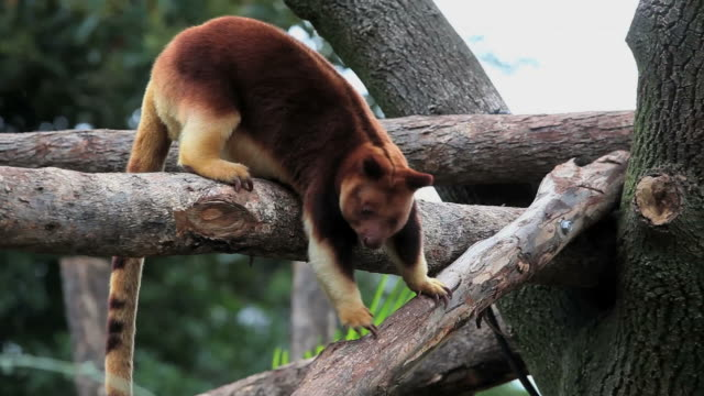 Goodfellow's tree-kangaroo  kangaroo stock videos & royalty-free footage