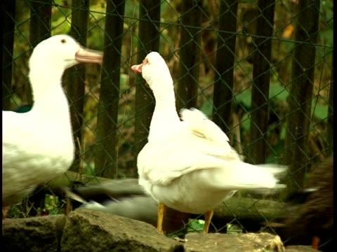 ガチョウ、アヒル、農場 - 水鳥点の映像素材/bロール
