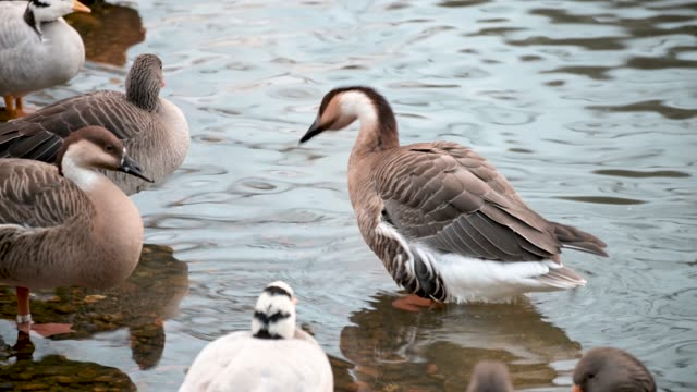 Goose and ducks stand in the water on the lake - vídeo