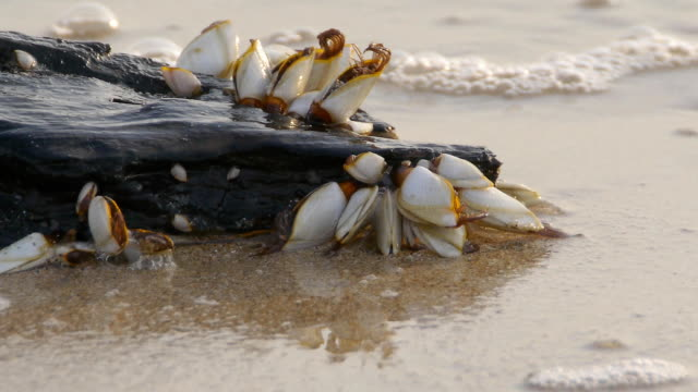 Goose barnacles video