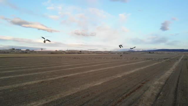 Goose Flocks Feeding in Rural Grain Fields and in Flight Western Colorado Outdoors