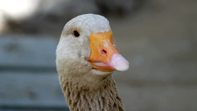 Goose head close Up  1080HD video