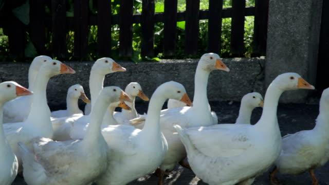 Goose - Stock Footage video