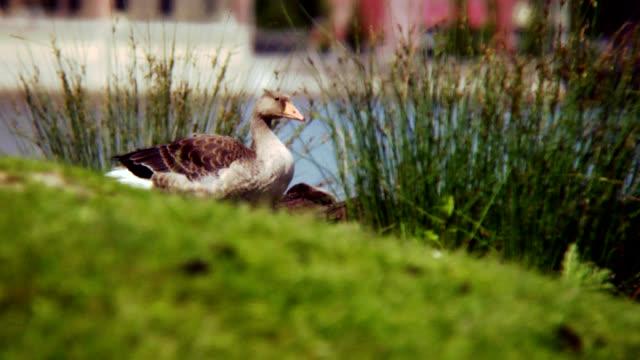 グレーグース  - 水鳥点の映像素材/bロール