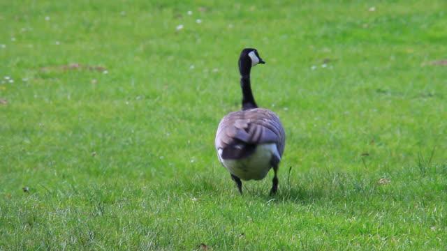 Goose video