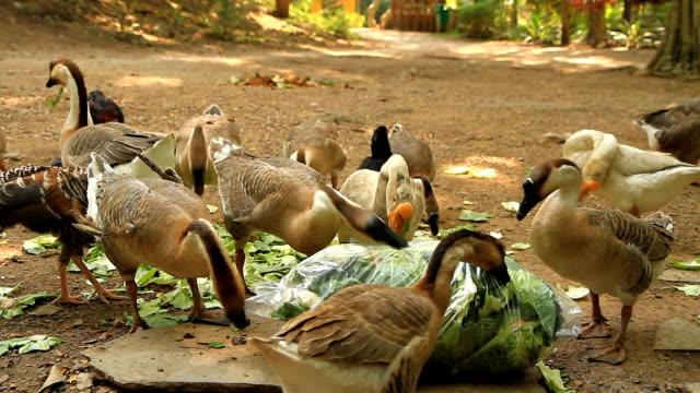 goose - schnauze stock-videos und b-roll-filmmaterial
