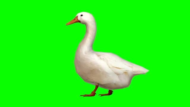 goose walking green screen (loopable) - утка водоплавающая птица стоковые видео и кадры b-roll