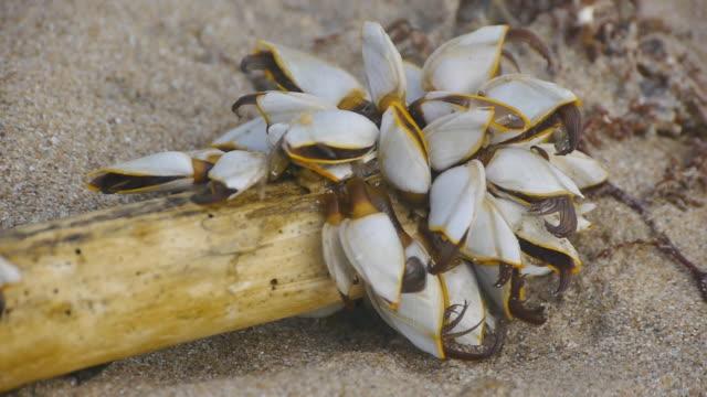 Gooseneck barnacles video