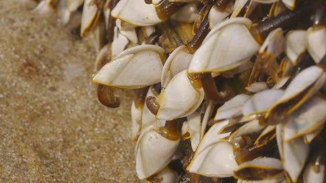 vidéos et rushes de col de cygne barnacles - bivalve