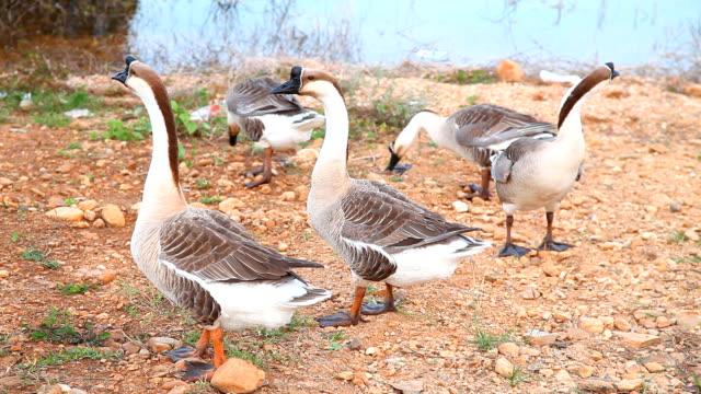 Gooses - vídeo