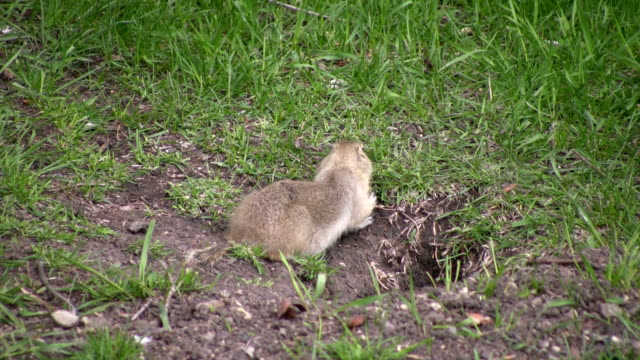 Gopher Eating Gopher eating some grass.   mammal stock videos & royalty-free footage