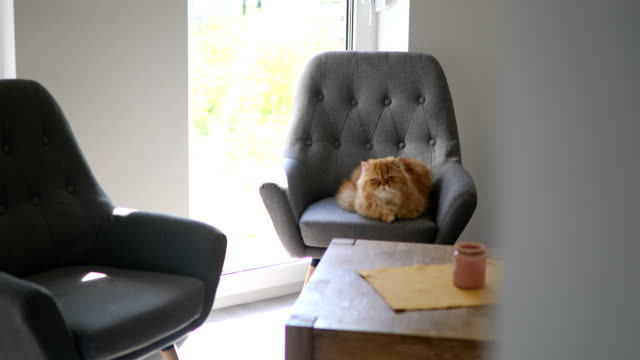 Gorgeous and big Persian cat Beautiful Persian can lying on a gray armchair, relaxing indoors at home. chair stock videos & royalty-free footage