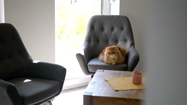 vackra och stora persiska katt - katt inomhus bildbanksvideor och videomaterial från bakom kulisserna