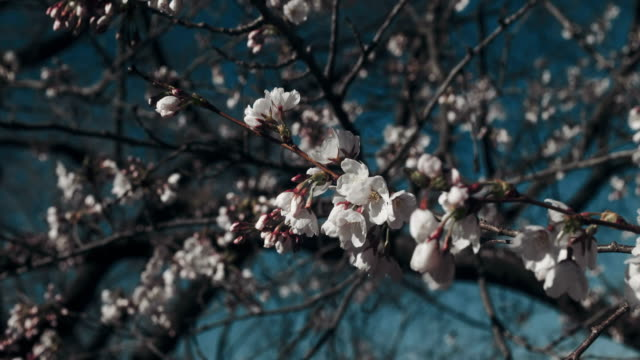 vacker körsbärsblom på peak bloom. - 4 kilometer bildbanksvideor och videomaterial från bakom kulisserna