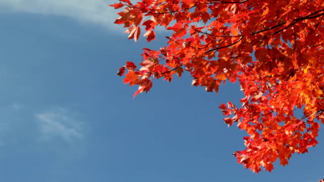 Gorgeous Fall Foliage Against Deep Blue Sky video