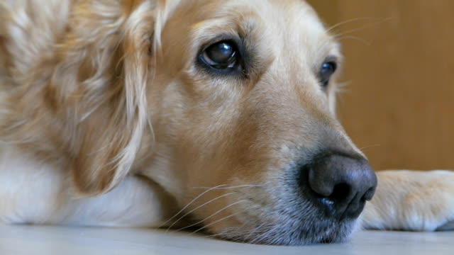 Gorgeous golden retriever dog lying on the floor at home video