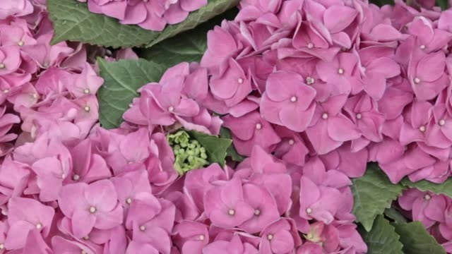 wunderschöne üppige, wunderschöne rosa hortensien blumen aus nächster nähe, panoramablick. hochzeitskulisse, valentinstag-konzept. draußen, im sommer. lila blumen haufen hintergrund - hortensie stock-videos und b-roll-filmmaterial