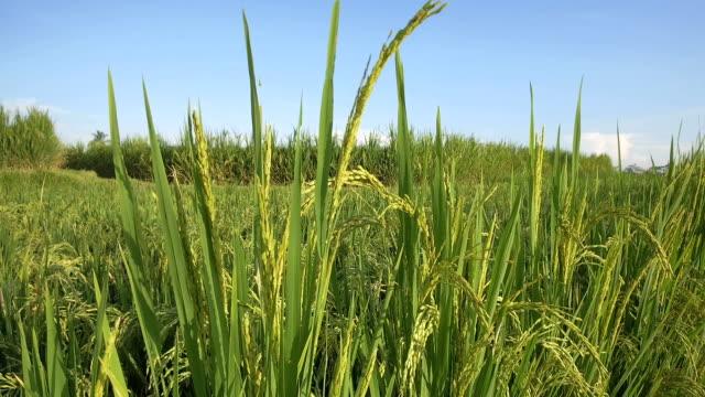 日当たりの良いバリ島の穏やかな夏のそよ風に揺れるスローモーション: 豪華な稲作 - 木目点の映像素材/bロール