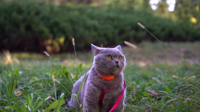 Gorgeous scottish straight cat on a leash in the autumn park. Gorgeous scottish straight cat on a leash in the autumn park. animal whisker stock videos & royalty-free footage