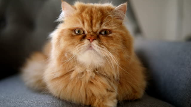 vackra gula och orange persisk katt - katt inomhus bildbanksvideor och videomaterial från bakom kulisserna