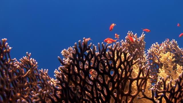 Gorgonian op achtergrond van school van rode vissen in koralen onderwater in overzees. video