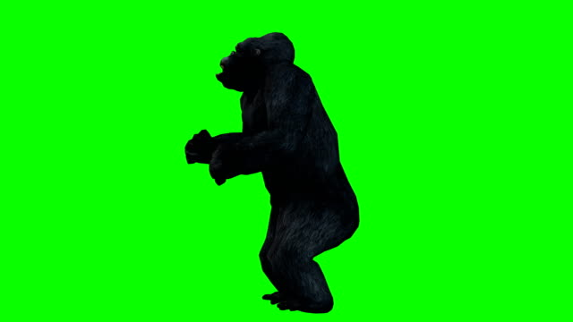 gorilla angry green screen (loopable) - gorilla stock videos and b-roll footage