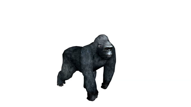 Gorilla, ape isolated on white background video