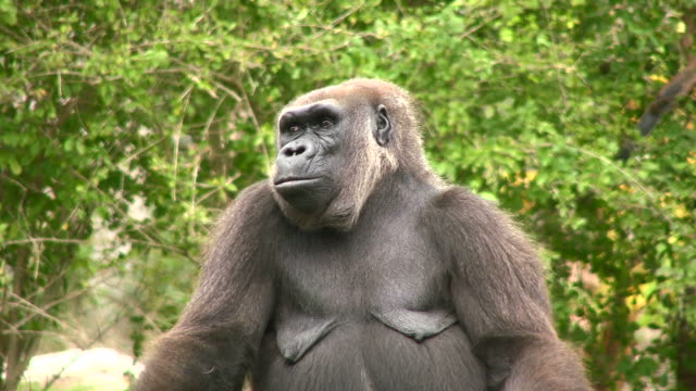 Gorilla Close-up video