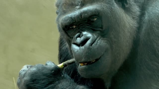 Gorilla eating bark from stick- close up