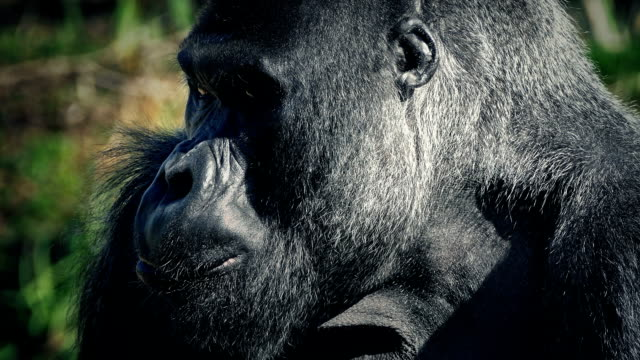 Gorilla Eating Looks Up At Camera video