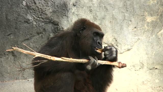 Gorilla Essen – Video