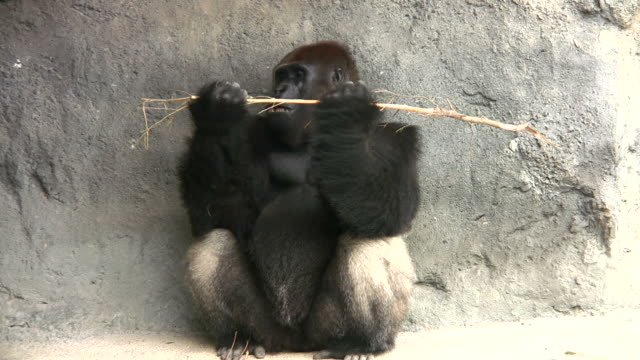 Gorilla Eating video