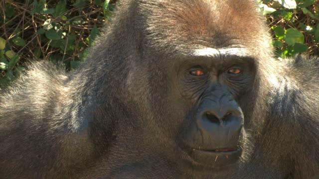 gorilla face closeup - gorilla stock videos and b-roll footage