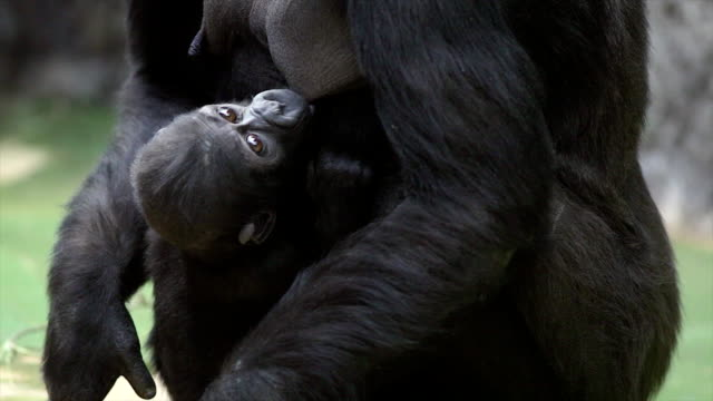 A gorilla female is breast feeding of her baby. video