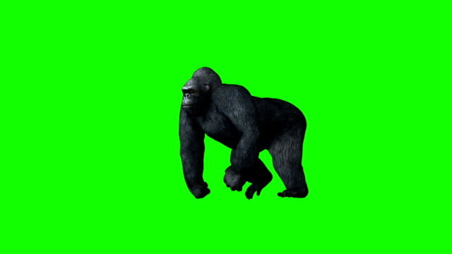 gorilla goes - green screen video