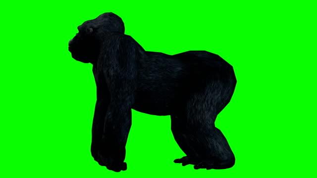 stockvideo's en b-roll-footage met gorilla green screen (loopbare) - gorilla