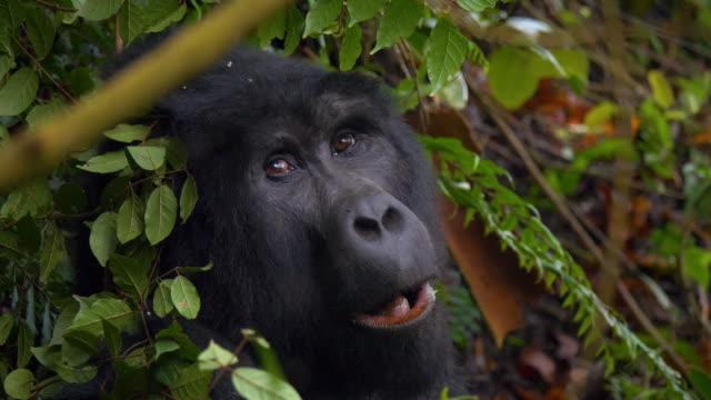 Gorilla in Bwindi Impenetrable National Park, Uganda