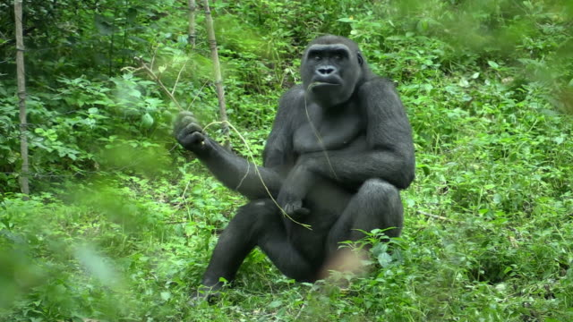 Gorilla in the Bronx Zoo video