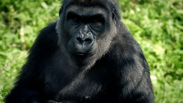 gorilla in the shade looks around and leaves - gorilla video stock e b–roll