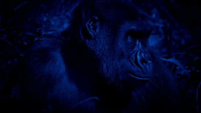 gorilla ser runt djungeln på blåsig natt - primat bildbanksvideor och videomaterial från bakom kulisserna