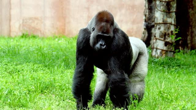芝生の上のゴリラ - 動物園点の映像素材/bロール