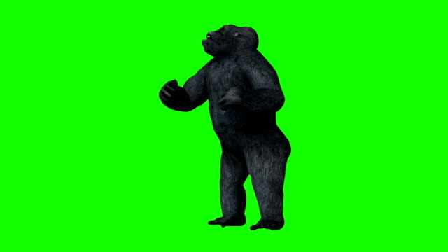 gorilla pounds his own chest - green screen video