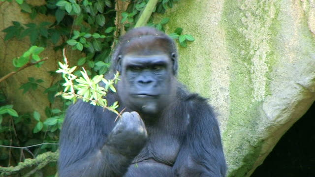 Gorilla Protects Food video