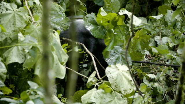 Gorilla pulls down bamboo stalk and eats leaves video