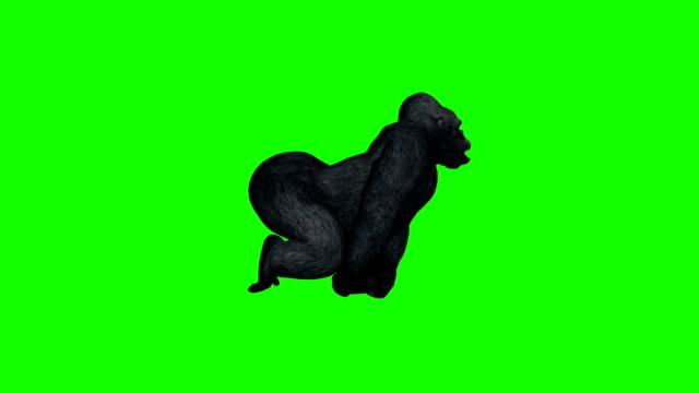 gorilla runs - green screen video