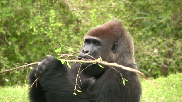 Gorilla Snack video