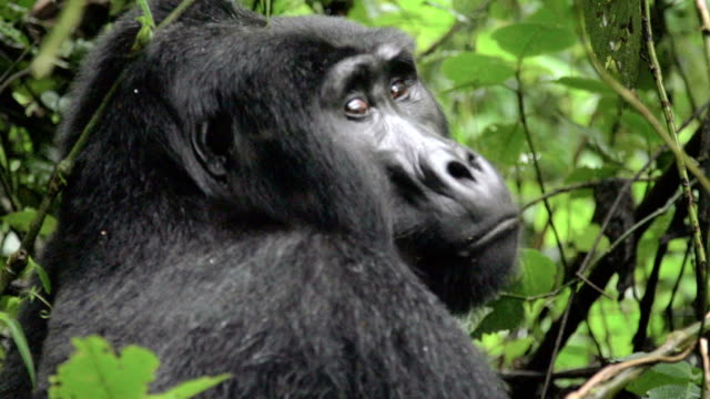 Gorilla staring at camera, looking up in slow motion video