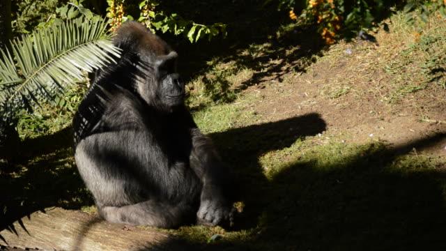 日光浴自然公園 - ニシローランド ゴリラのゴリラ - 動物園点の映像素材/bロール