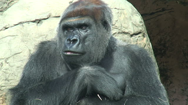Gorilla video