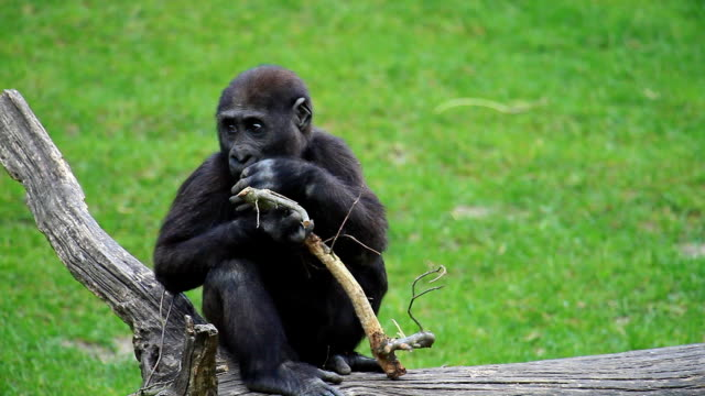 gorilla - 動物園点の映像素材/bロール
